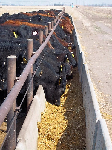 Feed Yard Foodie: What Do I Feed My Cattle? Part 1