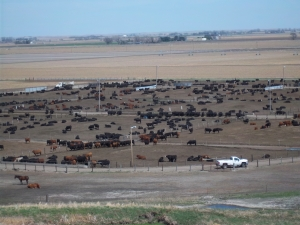 An arial view of the cattle feedyard