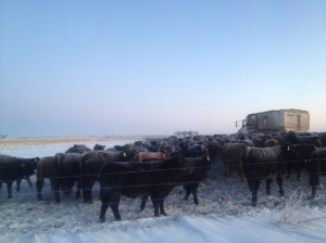 Cattle waiting for breakfast on a cold winter morning...