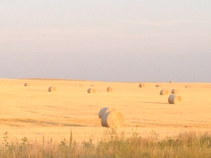 Wheat straw that is baled and waiting to be transported from the field to the feed yard...