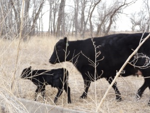 A bovine's life begin on a ranch...