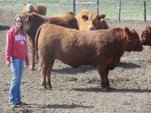 These red angus steers are a few days from shipping to the packing plant. I look pretty small next to them!