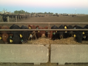 sept. 2012 weaning calves 055