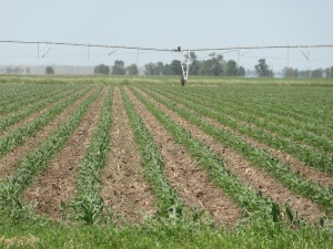 The irrigation pivot north of the feed yard that uses recycled water in addition to surface irrigation water to help this corn grow.