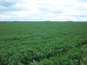 The certified organic alfalfa field that is located around my house and horse pastures...