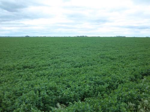 The alfalfa field behind my house...