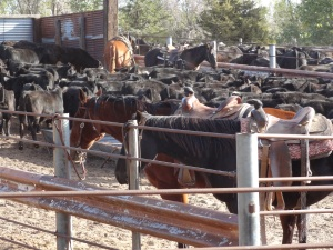 Cattle gathered in corrals ready to ship from the home ranch to my feed yard...