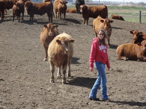 2011 Steers from the Denke's ranch...
