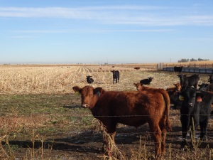 A group of 8 month old calves grazing the corn and alfalfa field north of the feed yard last fall...