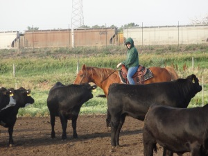 "When it's reasonably warm outside with use the horse to ""ride pens""--when it is cold many times we walk through the cattle checking health instead..."