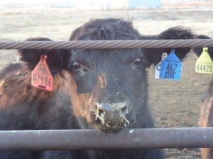 The blue tag in the calf's other ear is the cowboy tag that links her with her pen mates.
