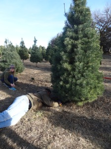 We finally settled on a very pretty 8 foot tree that I found while the other four were off looking at the 25 footer...