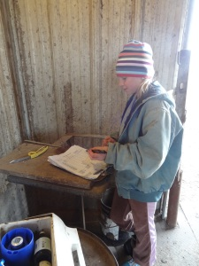 Megan was my helper last weekend.  Here she is writing down the identification numbers of the animal, its temperature, what I treated him with, and then the date that the animal will clear withdrawal...