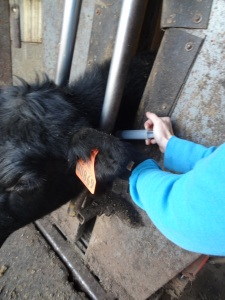 Here I am giving an injection in the neck of a calf just underneath the skin...