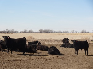 Cattle resting comfortably before the storm...
