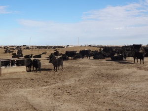 "One of the ""home pens"" where cattle live at my feed yard..."