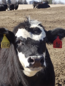 The kids were fascinated with the cattle ear tags!