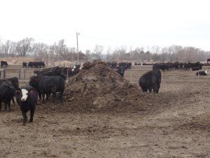 A pile of manure ready to be hauled out to farm ground and used as fertilizer...