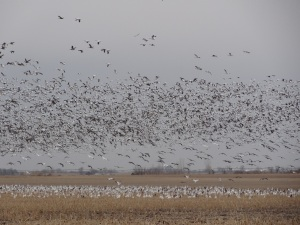 The geese have arrived by the millions on their trek back north...