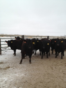 We were still able to ship cattle to harvest despite the icy conditions...