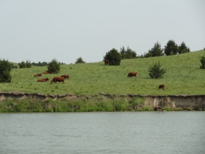 The neighbor's Red Angus cows are nice enough to share with us...