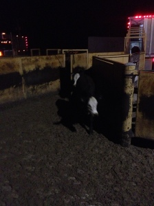The cattle coming off of my truck into the alleyway that leads to one of my corral pens...