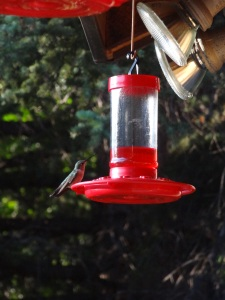 One of the hummingbirds that live by my parents porch along the river...