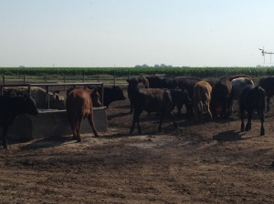 Here the cattle are checking out the water tank and the mineral tub...
