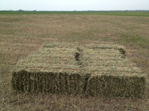 8 small square bales of prairie hay waiting to be picked up and placed on a trailer...
