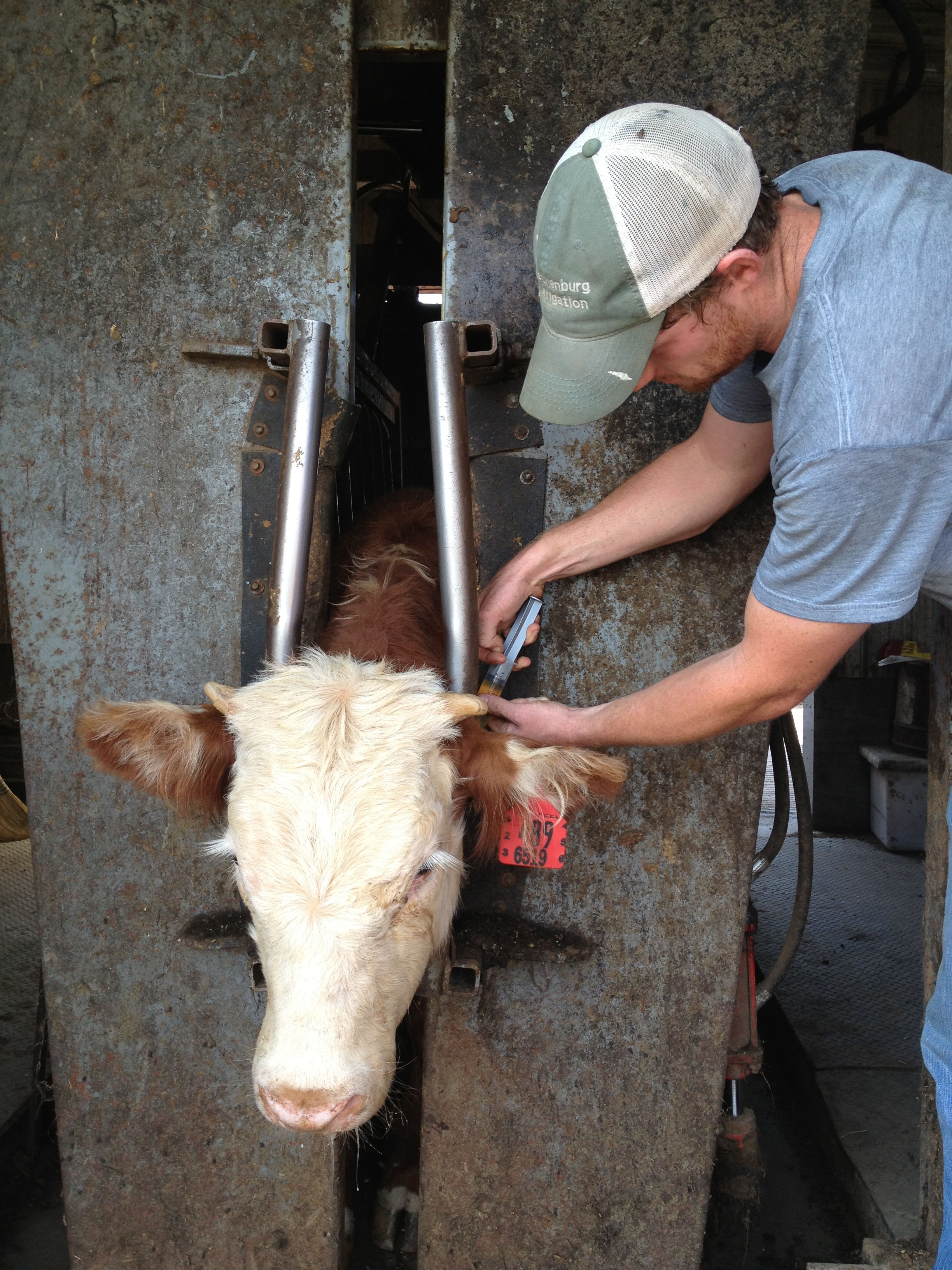 Checking Cattle… | Feed Yard Foodie