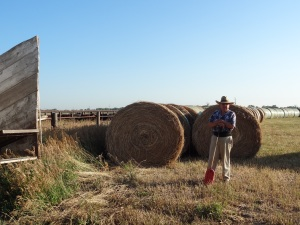 Here, Archie is pictured by the cattle load out corrals with bales of prairie hay in the background...