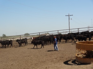 Watching talented cattle handlers is a great way to learn...
