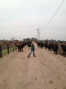 Here Megan is trailing cattle down the alleyway going back to the home pen at the end of an exercising session...
