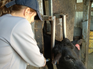 Administering a prescription antibiotic to a sick calf...