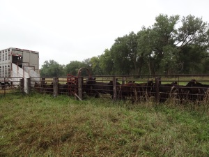 Cattle are typically transported via semi truck where you can move anywhere from 40-100 animals at one time depending on both truck and animal size...