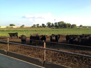 Here is their new home pen after arrival at the feed yard...