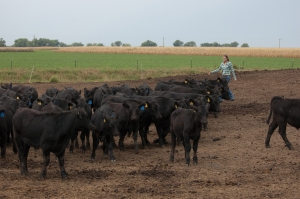 My job is to offer them optimal care while producing great tasting beef and wisely using the resources of our farm...