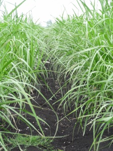 Rows of sugarcane growing in the rich muck soil on Eltrose Farms...