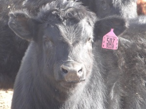 Here you can see the heavy coat of hair that keeps our cattle warm when the cold north wind blows...