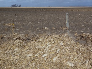Piles of corn stalk shucks blown into the ditch at the south end of our corn field...