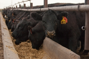 Good care and good nutrition makes for comfortable animals and great tasting beef...