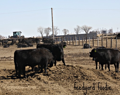 "A pile of manure waiting to be taken out of the pen.  The cattle enjoy playing ""king of the mountain"" until the pile is removed..."