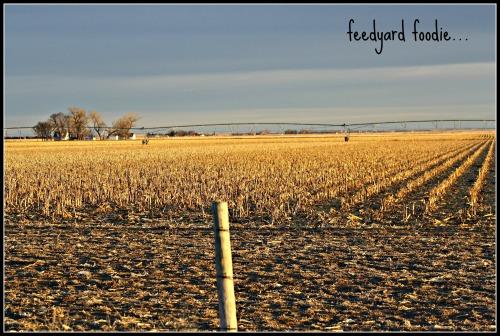 cornfield2