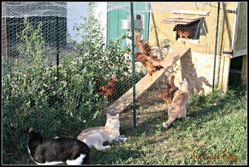 chickenscats2.jpg