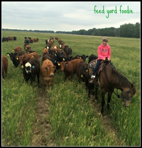 Pasture raised cattle that are now at my feed yard in preparation for slaughter...