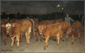 The end of an exercising session -- the calves are returning to the home pen for breakfast...