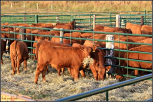 While the steer calves, destined to make beef, travel to the feed yard where they find fresh grass hay -- water -- and a dry place to sleep their first night...