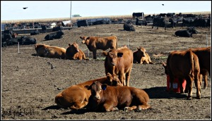 The goal = Comfortable and resting calves.