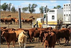 The calves are soon loaded up on the trucks to travel to their new home at the feed yard...