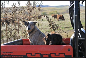 Their dogs are just as well behaved as their calves, and obediently remain out of the way during the sorting and loading process...